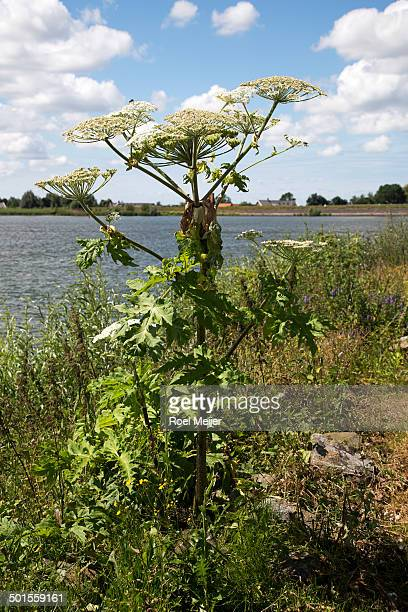 Giant hogweed on bank of river