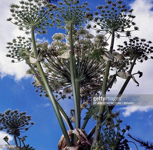 Giant Hogweed or Cartwheelflower Apiaceae