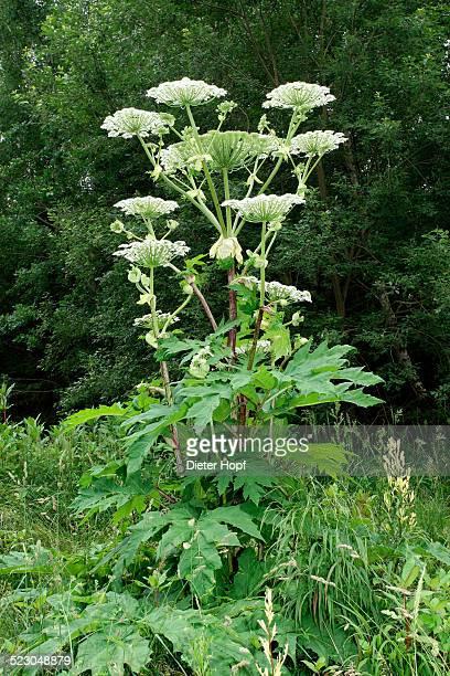 giant hogweed or giant cow parsley -heracleum mantegazzianum-, allgaeu, bavaria, germany, europe - giant hogweed - fotografias e filmes do acervo