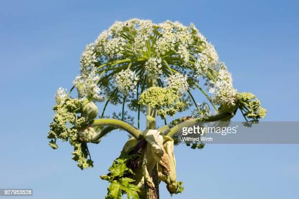 giant hogweed or wild parsnip (heracleum mantegazzianum), north rhine-westphalia, germany - giant hogweed stock pictures, royalty-free photos & images