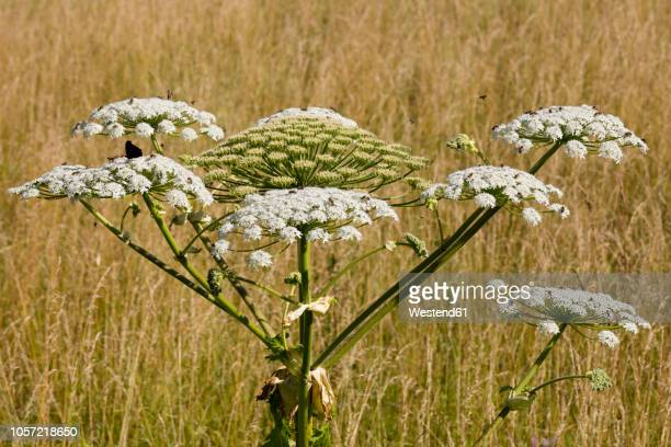 giant hogweed - giant hogweed stock pictures, royalty-free photos & images