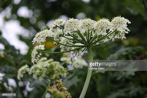 giant hogweed - giant hogweed - fotografias e filmes do acervo