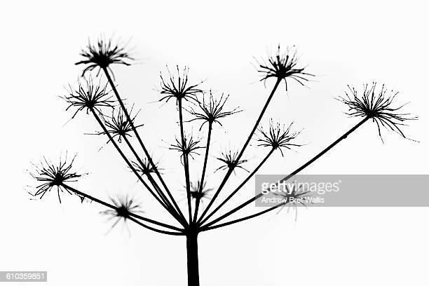 giant hogweed seed head in close up - giant hogweed - fotografias e filmes do acervo