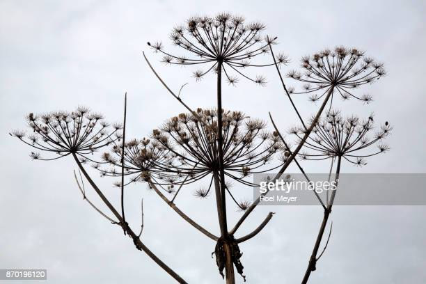 giant hogweed; silhouettes of umbels with seeds - giant hogweed - fotografias e filmes do acervo