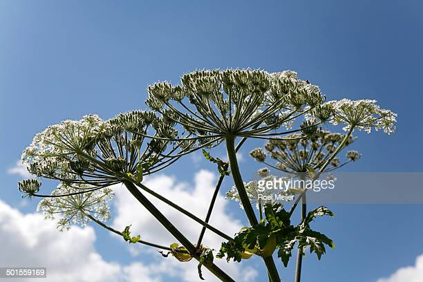 giant hogweed, umbels against blue sky - giant hogweed stock pictures, royalty-free photos & images