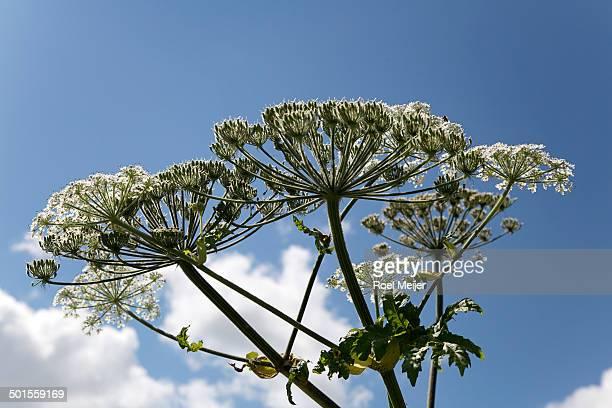 giant hogweed, umbels against blue sky - giant hogweed - fotografias e filmes do acervo