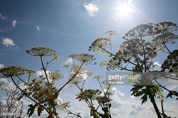 Giant hogweed, umbels backlighted by the sun