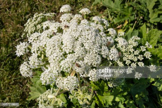 giant hogweed with bees - giant hogweed stock pictures, royalty-free photos & images