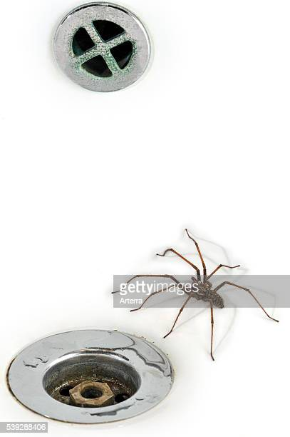 Giant house spider in washbasin / sink next to plughole in bathroom Belgium