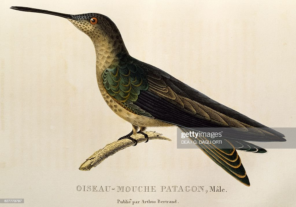 giant hummingbird patagona gigas pictures getty images