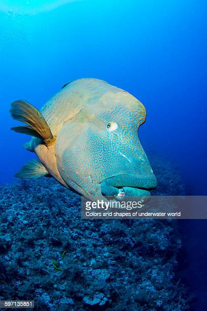 giant humphead in clear waters of brothers island - メガネモチノウオ ストックフォトと画像