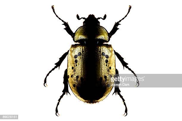 giant insect - beetle stock pictures, royalty-free photos & images