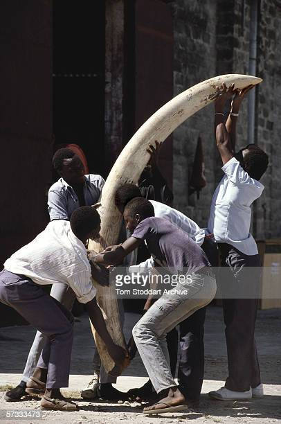 A giant ivory tusk confiscated from poachers after Tanzanian game wardens arrested a gang armed with automatic weapons