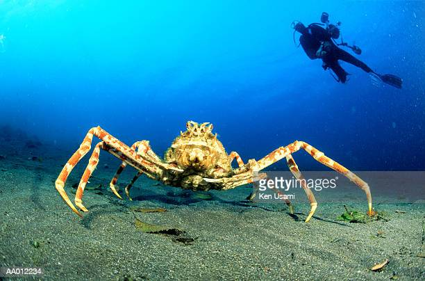 Giant Japanese spider crab, scuba diver in background