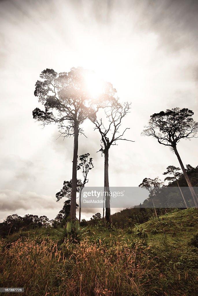Giant jungle trees against backlight : Bildbanksbilder