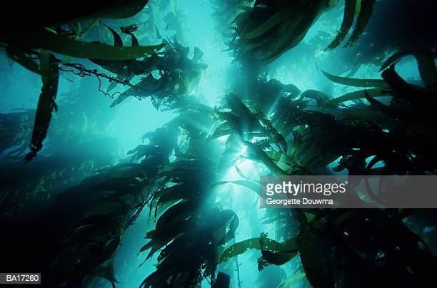 giant kelp (macrocystis pyrifera) forest, low angle view - 藻 ストックフォトと画像