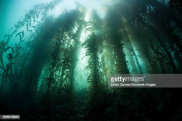 Giant kelp (Macrocystis pyrifera) grows off the coast of California.