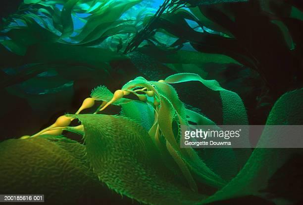 Giant kelp (Macrocystis pyrifera), (Digital Enhancement)