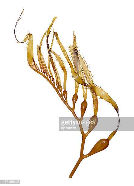 Sargazo gigante (algas) muestra