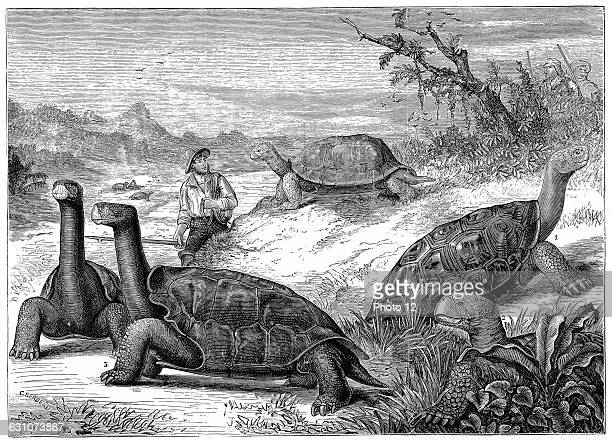Giant Land Tortoises of the Galapagos Islands Darwin's study of the fauna of the Islands contributed to his theory of evolution1884 Wood engraving