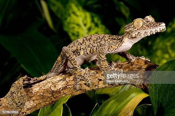 giant leaf tail gecko - ヒロオヤモリ ストックフォトと画像
