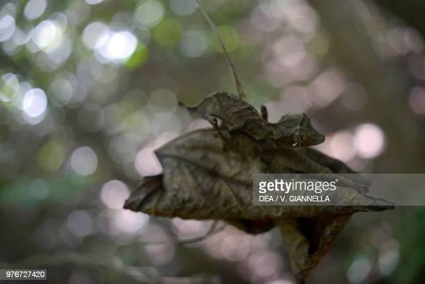 Giant leaftailed gecko Gekkonidae Madagascar