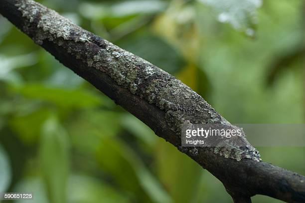 Giant Leaf-Tailed Gecko , Marozevo, Toamasina Province, Madagascar.