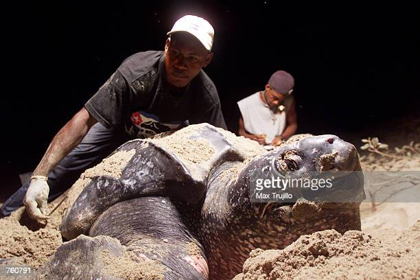 A giant Leatherback turtle lays her eggs in the sand as local Mopawi volunteers take measurements April 10 2002 in Plaplaya Honduras Mopawi a group...