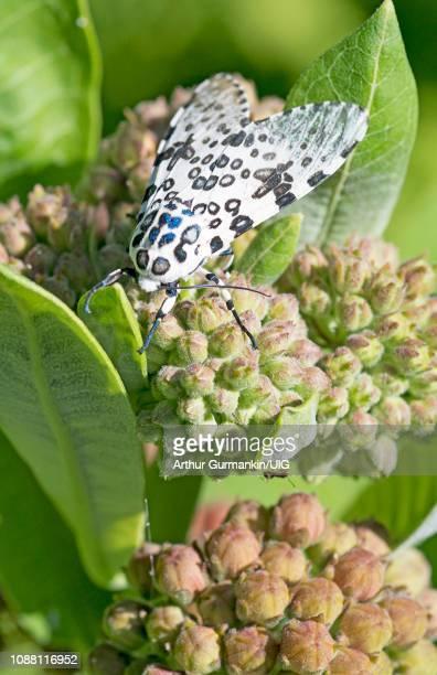 giant leopard moth - arthur foto e immagini stock