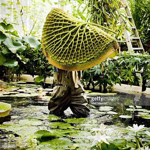 giant lily in kew botanical garden - botanischer garten stock-fotos und bilder