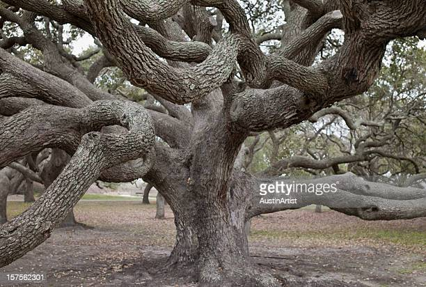 giant live oak tree - live oak tree stock pictures, royalty-free photos & images
