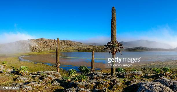 Giant lobelia Lobelia rhyncopetalum Bale Mountains National Park Ethiopia