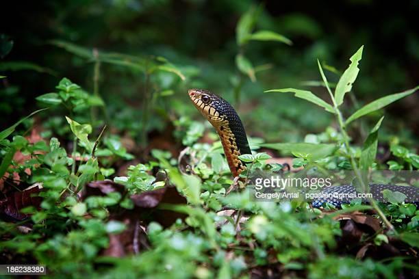 giant madagascan hognose snake - hognose snake stock pictures, royalty-free photos & images
