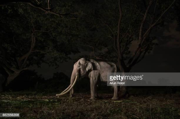 Giant Male elephant (Elephas Maximus) at night, Surin, Thailand