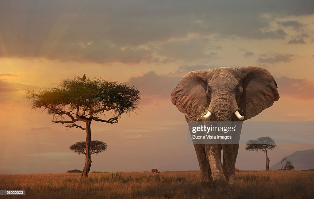 Giant Male  elephant (Loxodonta africana) at sunse : Stock Photo
