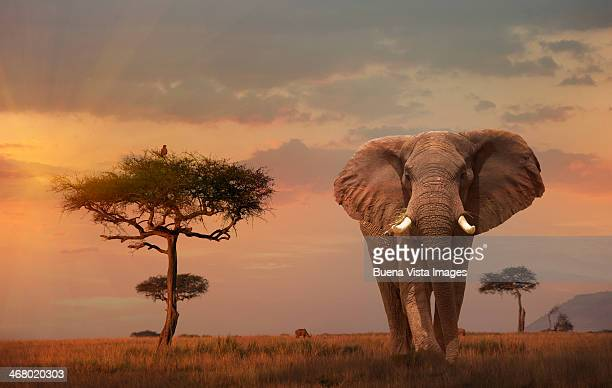 Giant Male  elephant (Loxodonta africana) at sunse