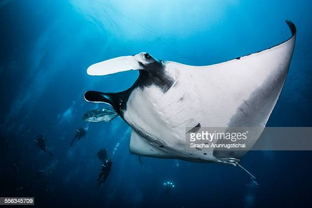 Giant manta ray (Manta birostris) and divers