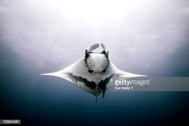 Giant Manta Ray, underwater view, Roca Partida, Mexico