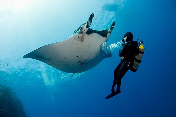 Giant Manta Ray With A Scuba Diver Wall Art