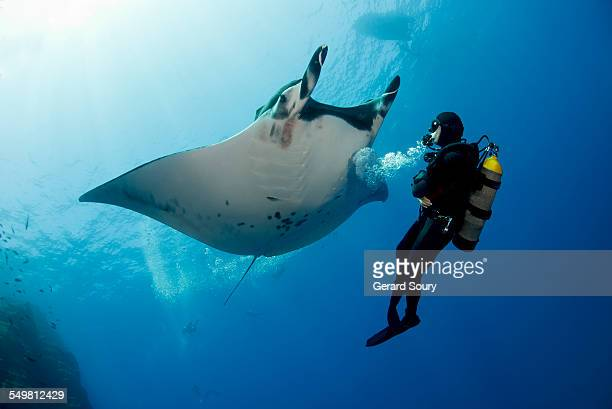 Giant Manta Ray with a scuba diver
