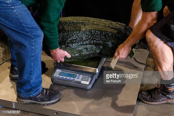 Giant Marrow are weighed during judging for the giant vegetable competition at the Harrogate Autumn Flower Show on September 13 2019 in Harrogate...