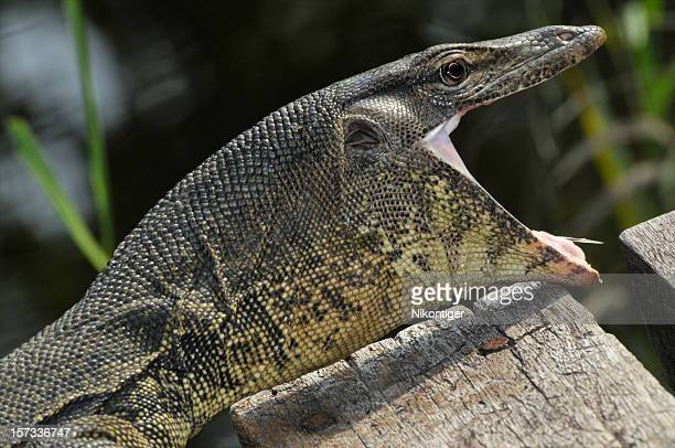 giant monitor lizard - komodo dragon stock pictures, royalty-free photos & images