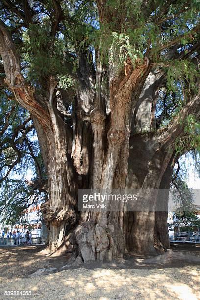 Giant Montezuma cypress tree