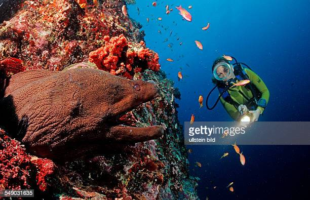 Giant moray and scuba diver Gymnothorax javanicus Maldives Islands Indian ocean Ari Atol Atoll
