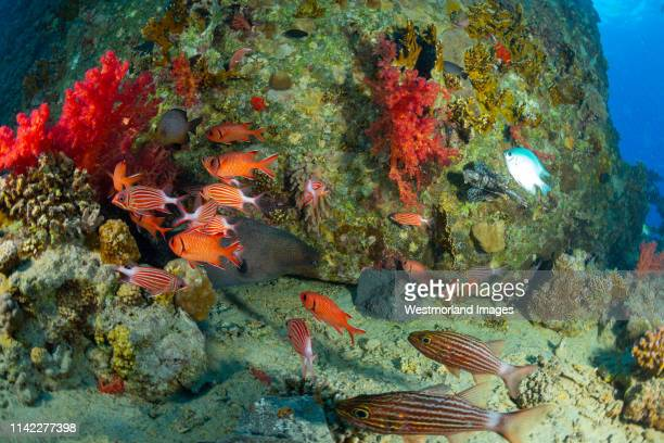 giant moray eel (gymnothorax javanicus) and squirrelfish.  gubal islands, northern red sea, egypt - squirrel fish photos et images de collection