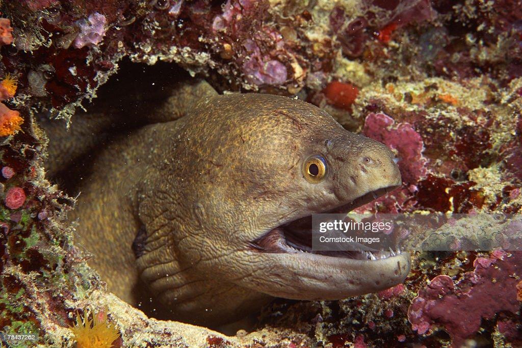 Giant moray eel : Stockfoto