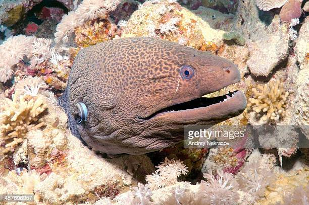 giant moray -gymnothorax javanicus-, ras muhammad national park, sinai peninsula, sharm el-sheikh, red sea, egypt - saltwater eel stock photos and pictures
