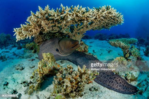 giant moray (gymnothorax javanicus) under hyacinth table coral (acropora hyacinthus), red sea, egypt - invertebrate stock photos and pictures
