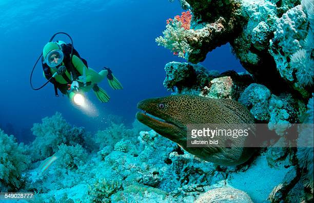 Giant moray with scuba diver Lycodontis javanicus Egypt Red Sea Hurghada