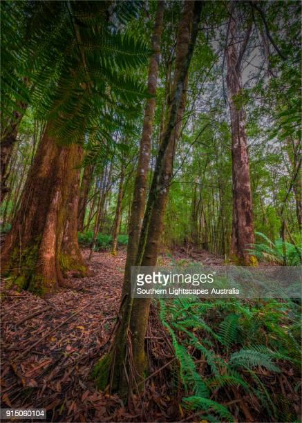 Giant Mountain Ash and Tree-Ferns in Tarra Bulga National Park, South Gippsland, Victoria.